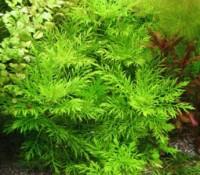 Hygrophila difformis (Water Wisteria)
