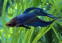 Betta Splendens (Gaidukas)