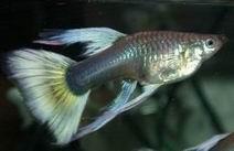 Gyvavedės žuvys