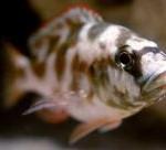 Nimbochromis livingstoniii
