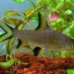 Balantiocheilos melanopterus (Ryklinis barbusas)