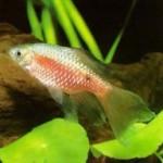 Barbus conchonius (Ugninis barbusas)
