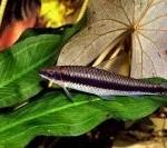 Crossocheilus siamensis (Lapė)