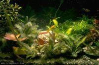 Dumbliai – akvariume