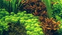 Akvariumo augalai
