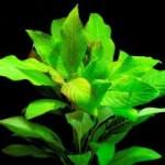 Hygrophila corymbosa ''Stricta''