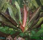 Echinodorus x Rubin