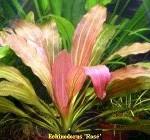 """Echinodorus """"Rose"""""""